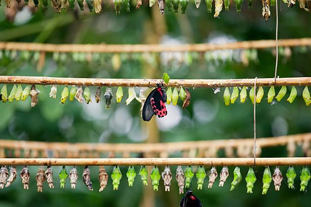 schmetterling-breeding - kokon stock-fotos und bilder