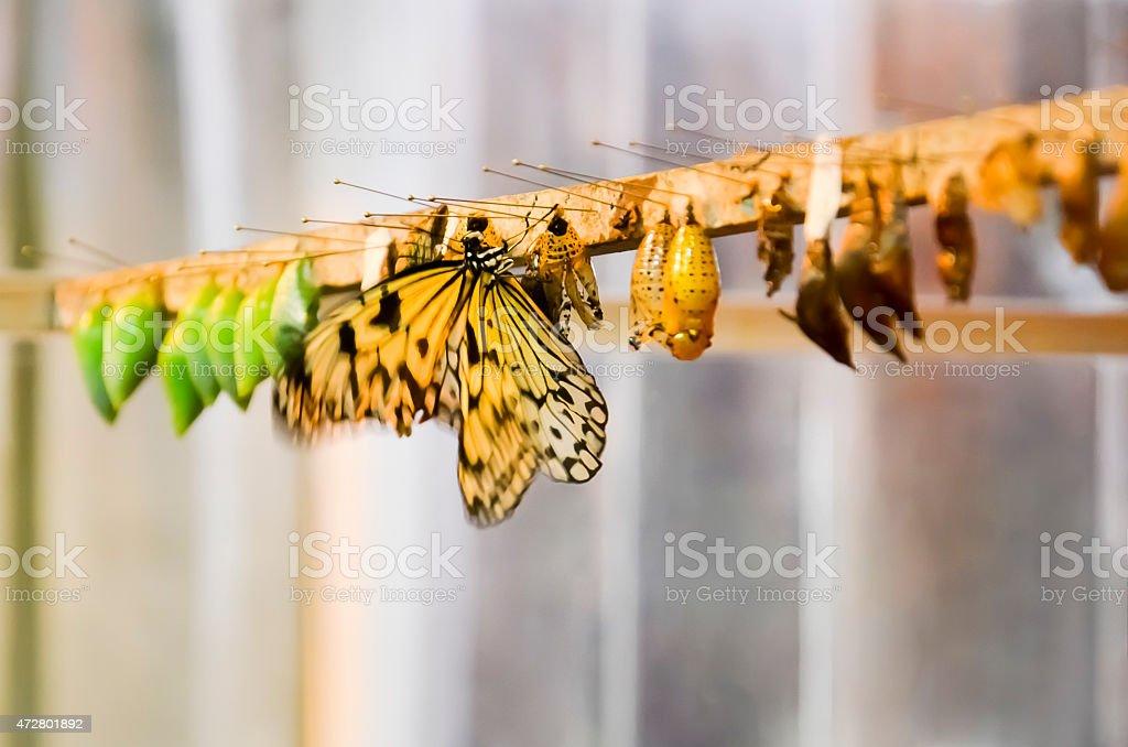 Butterfly breeding stock photo