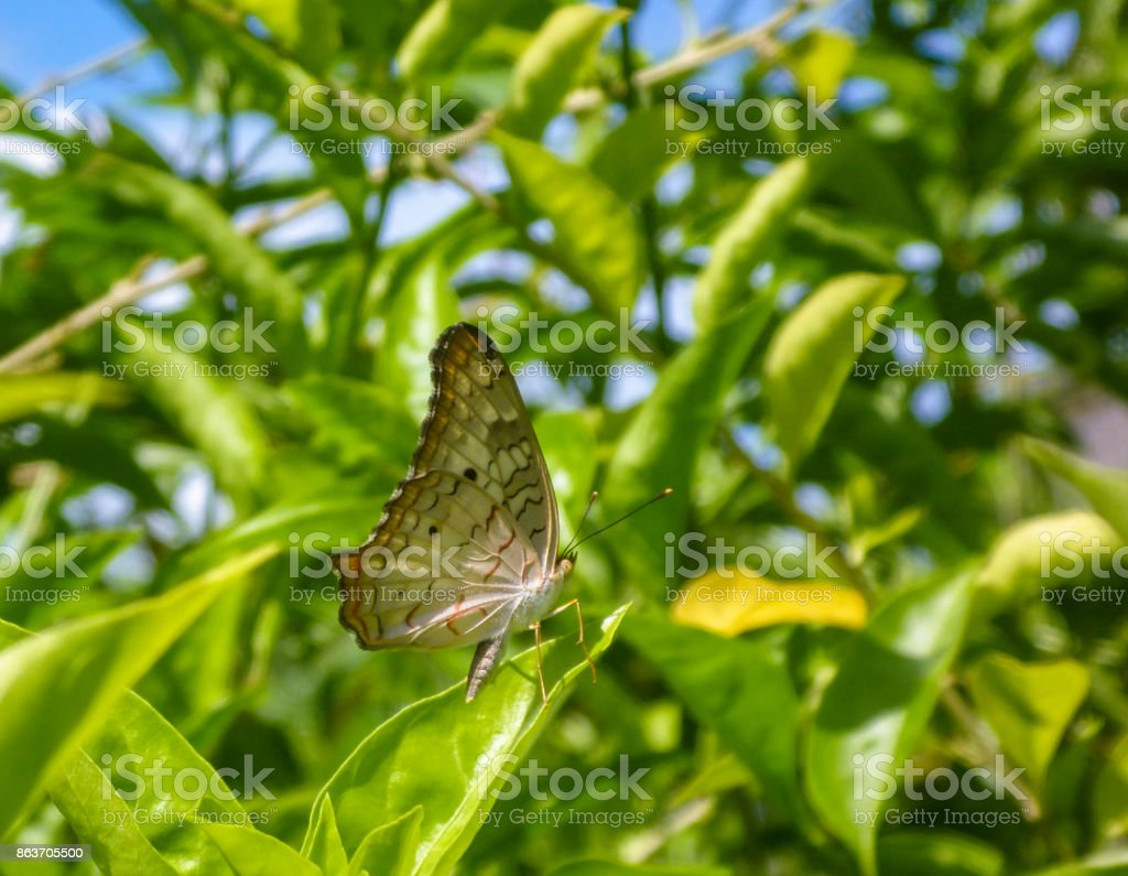 Butterfly brown and cream on green leaves stock photo
