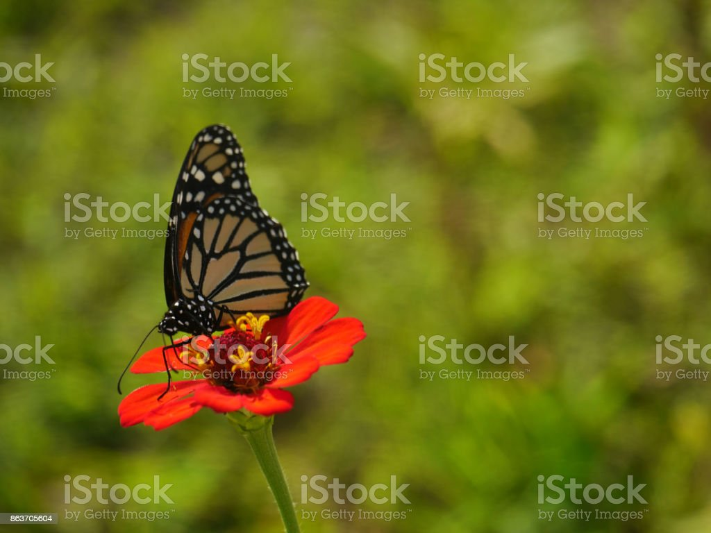 Butterfly brown and orange on red flower stock photo