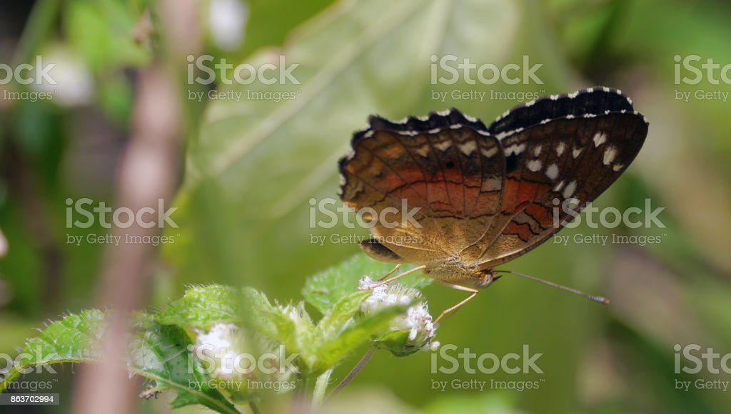 Butterfly brown and orange on white flower stock photo