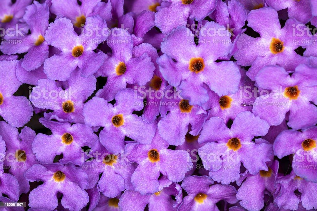 Butterfly Bush stock photo