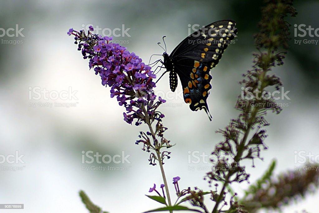 Butterfly bush royalty-free stock photo