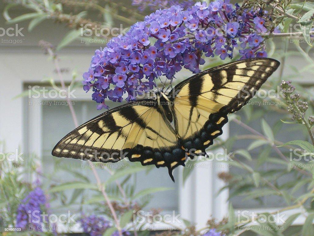 Butterfly bush royalty-free stock photo
