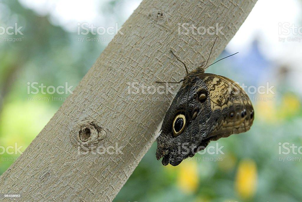 나비 Caligo eurilochus royalty-free 스톡 사진
