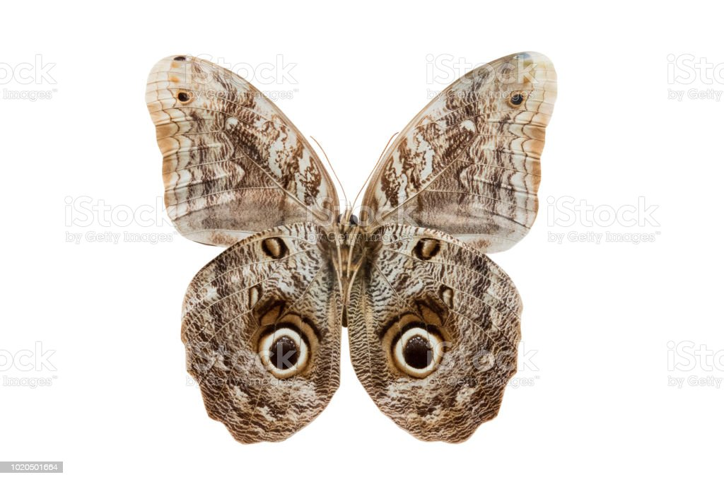 borboleta Caliqo brasiliensis - foto de acervo