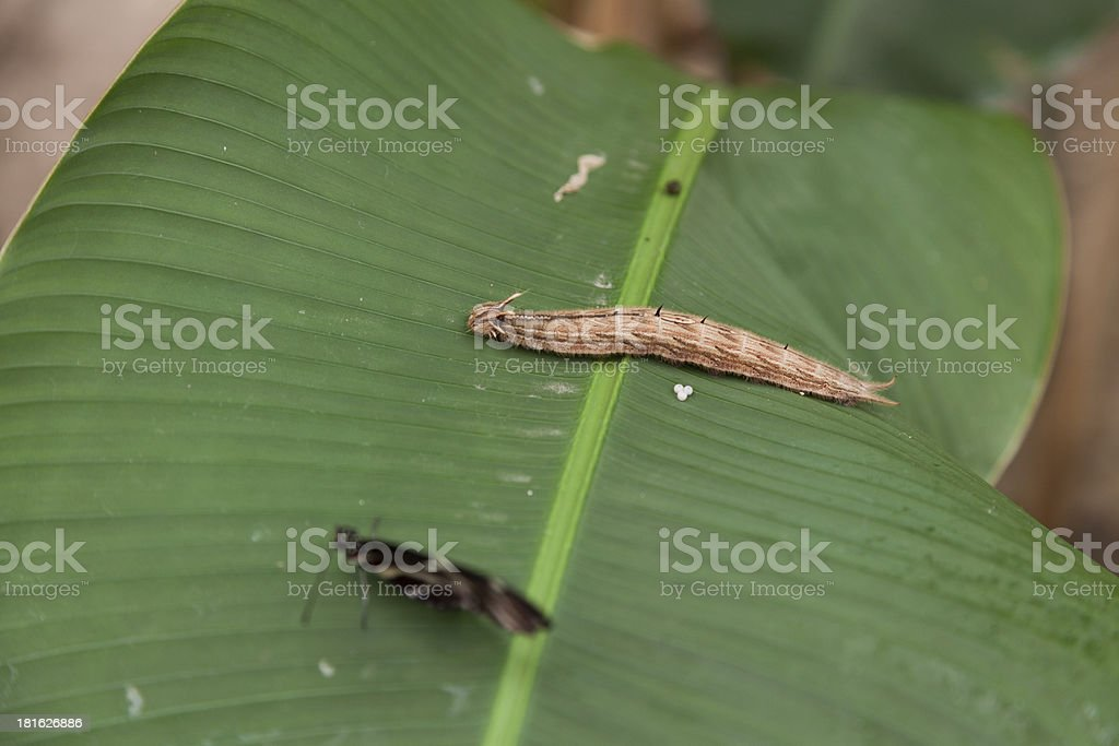 Butterfly caterpillar royalty-free stock photo