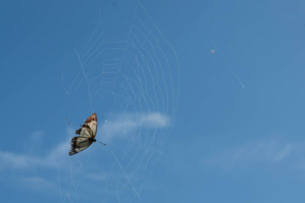Butterfly caught in spider web. Butterfly caught in spider web unable to escape. ensnare stock pictures, royalty-free photos & images
