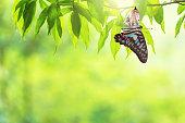 istock Butterfly change Chrysalis 1141601826