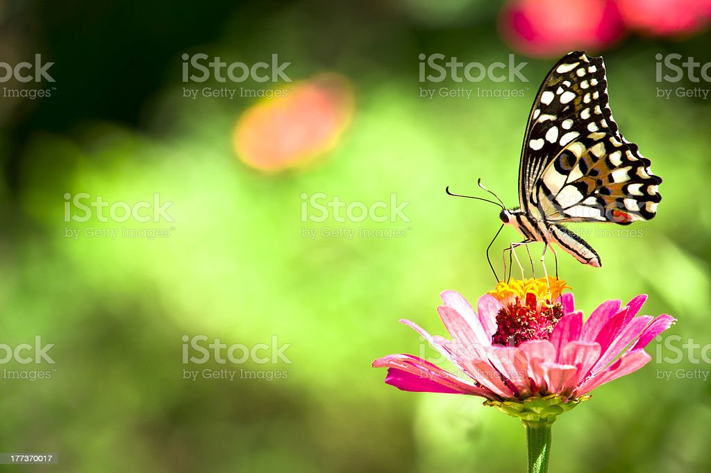 Butterfly - Chilasa Clytia royalty-free stock photo