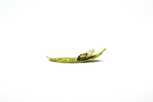 나비 번데기 0명에 대한 스톡 사진 및 기타 이미지