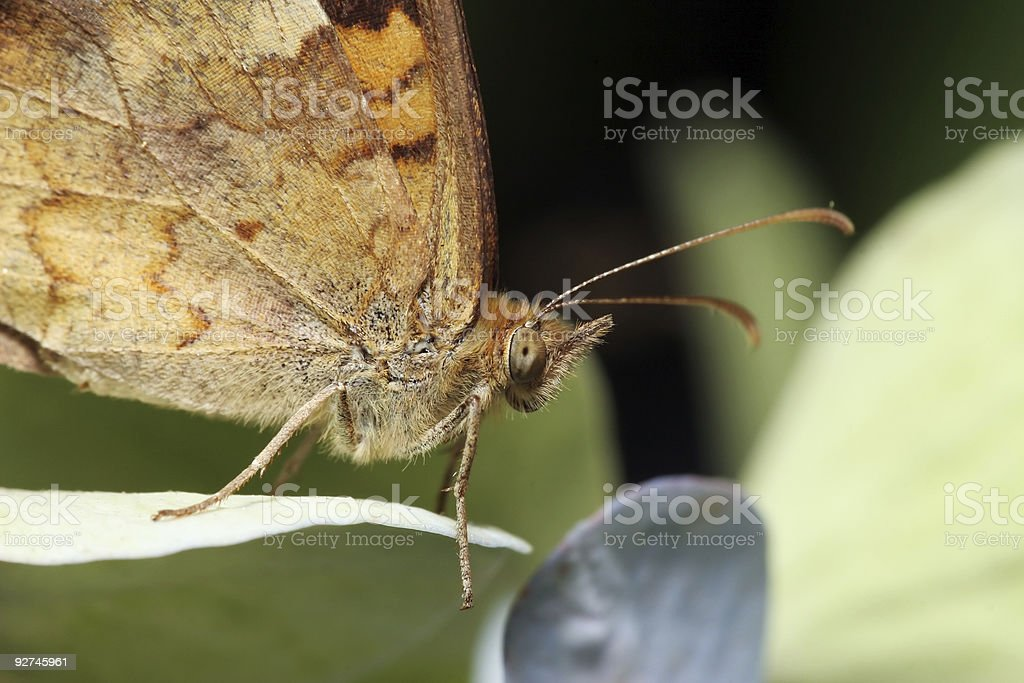 Butterfly closeup 01 royalty-free stock photo