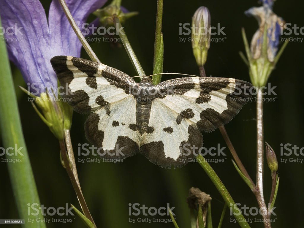 Butterfly Clouded Border royalty-free stock photo