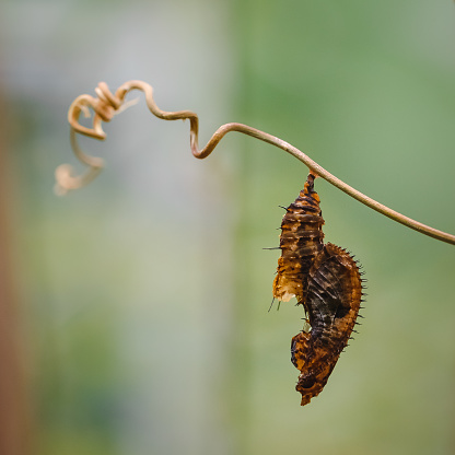 A butterfly cocoon