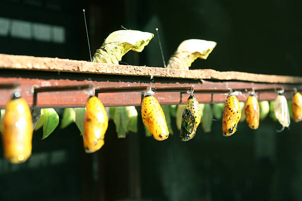 butterfly cocoons in a row - locust swarm stockfoto's en -beelden