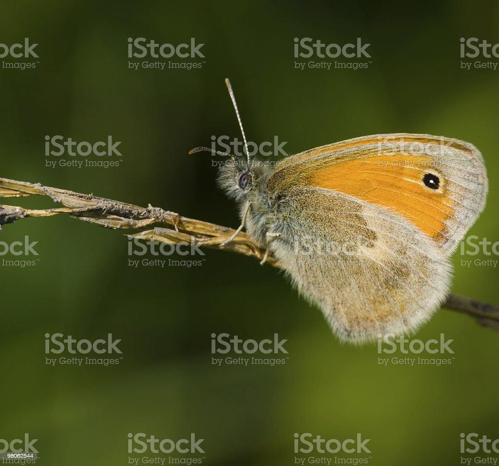 나비 Coenonympha pamphilus 한 기체상태의 블레이드 royalty-free 스톡 사진