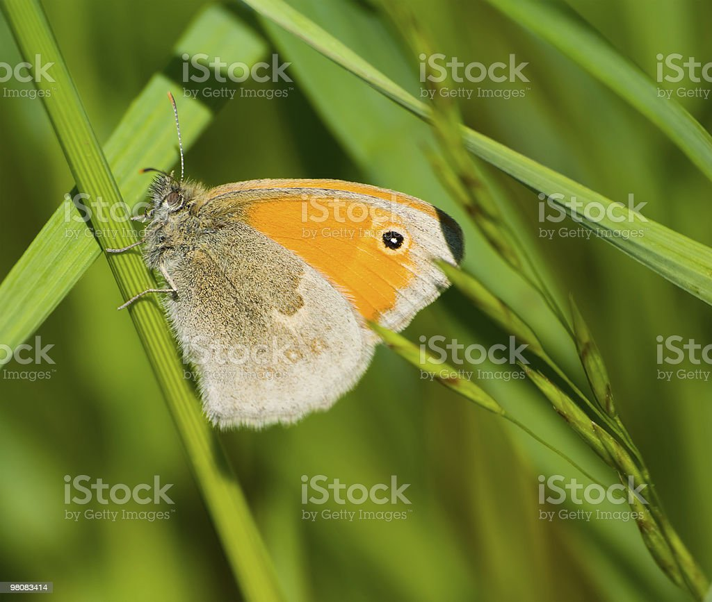 Butterfly Coenonympha pamphilus royalty-free stock photo
