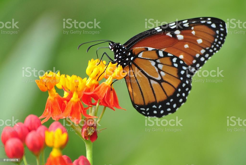 Butterfly collecting nectar stock photo