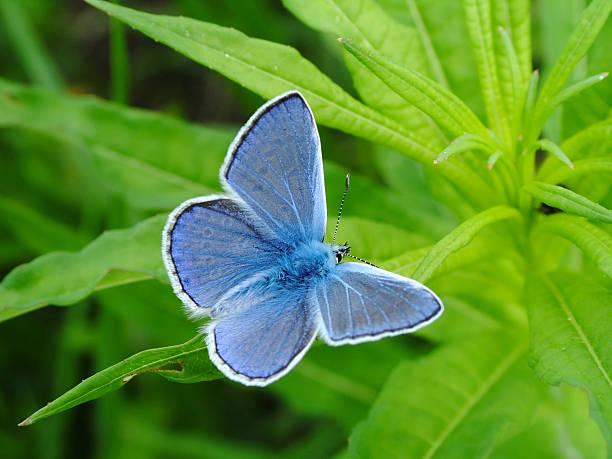 Cтоковое фото Бабочка Common Blue