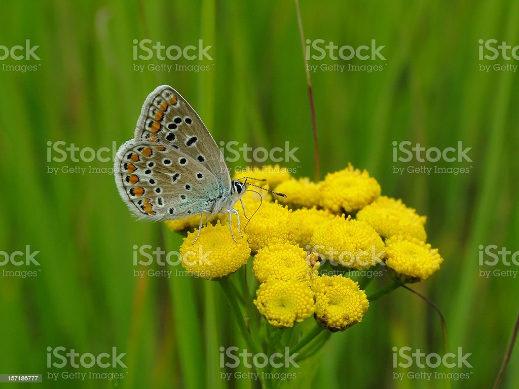 Butterfly Common Blue stock photo