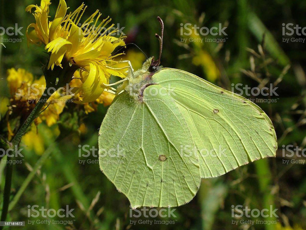 Butterfly Common Brimstone stock photo