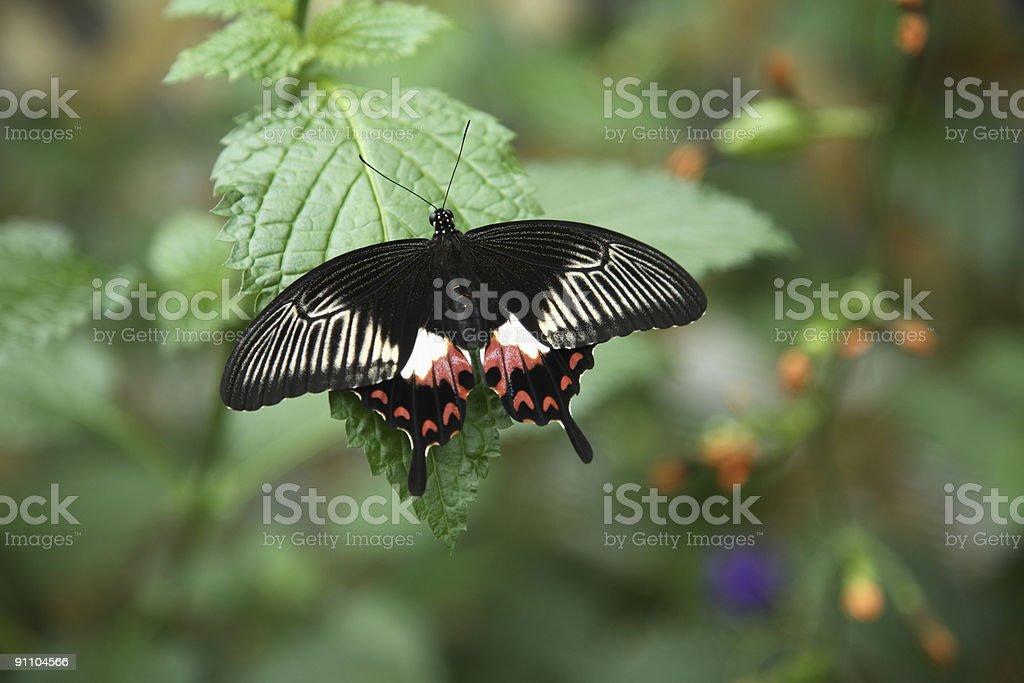 Butterfly, Common Mormon (papilio polytes) royalty-free stock photo