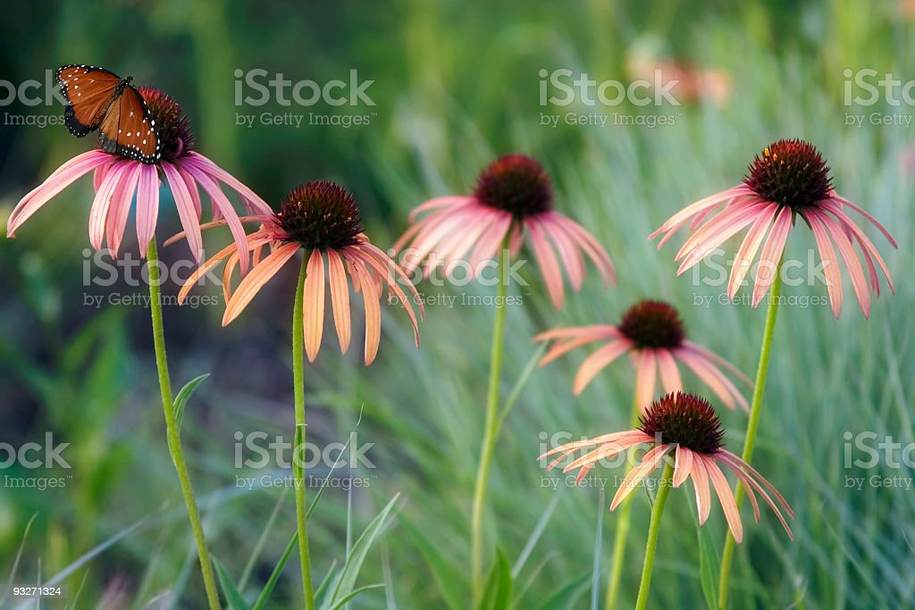 Butterfly & Coneflowers stock photo