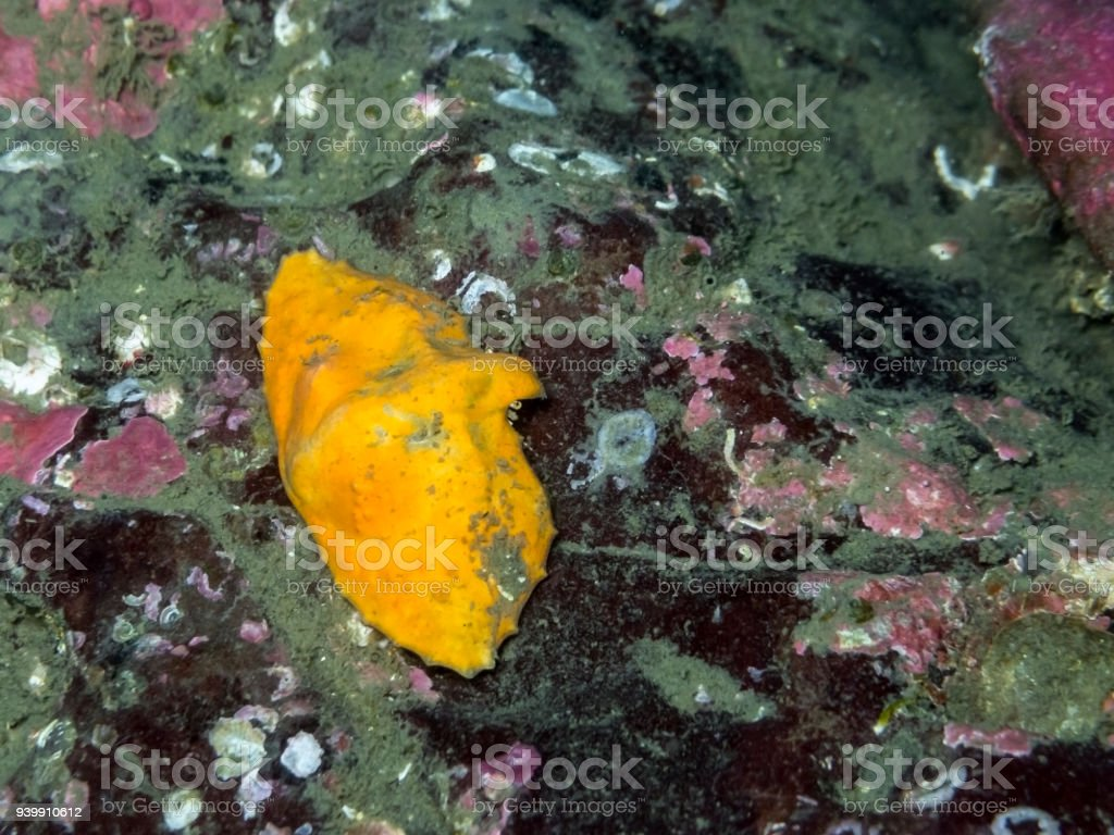 Butterfly crab  (Cryptolithodes typicus) stock photo