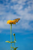 A monarch butterfly crawls on a yellow wildflower on a beautiful day.