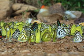 Butterfly Crowd of Landing Ground