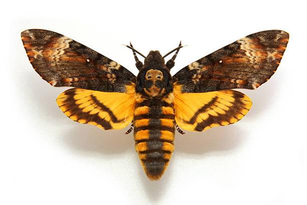 Butterfly Death's-head Hawkmoth....Acherontia atropos stock photo