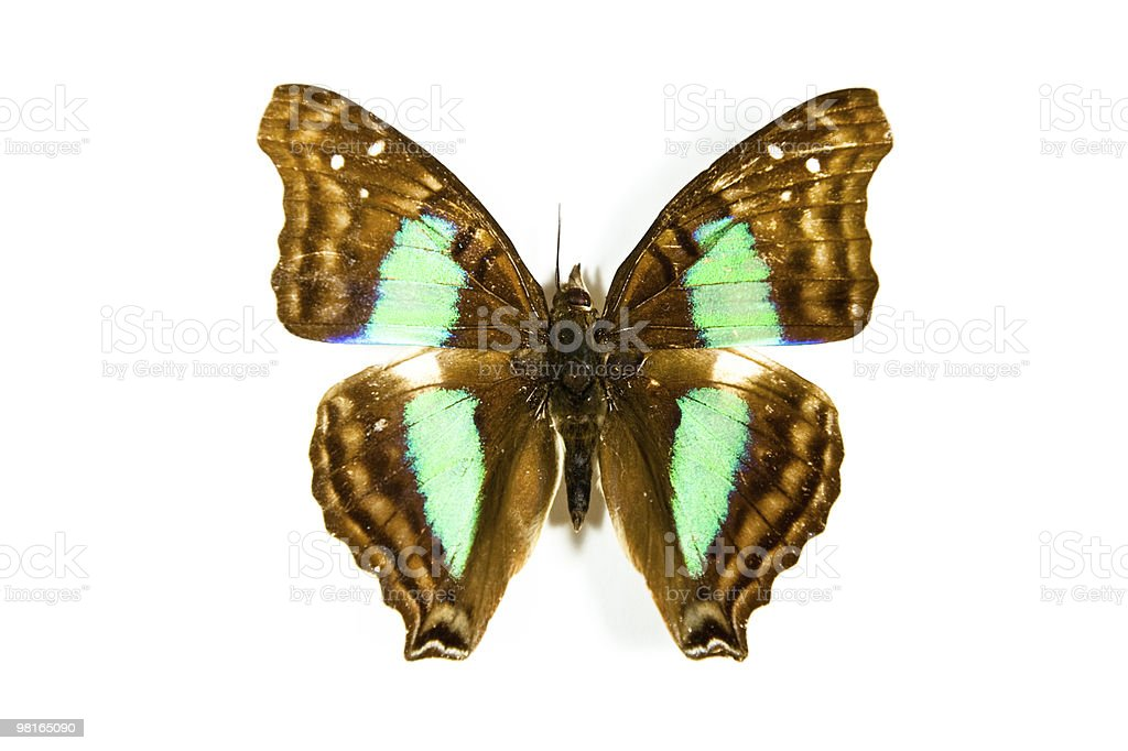 나비 Doxocopa cyane 격리됨에 royalty-free 스톡 사진