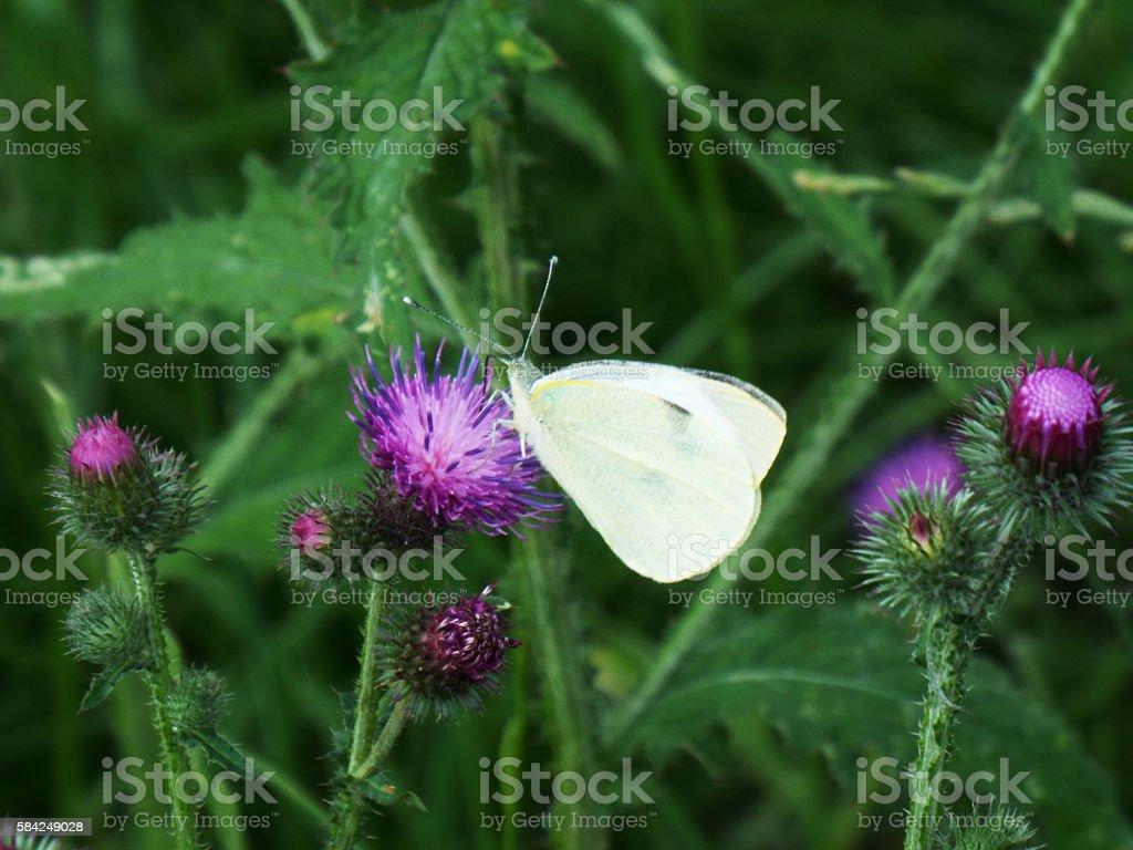 Papillon boire nectar photo libre de droits