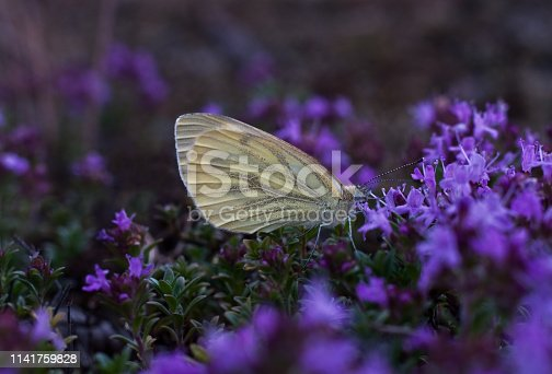 Butterfly drinks nectar from a flower stock photo