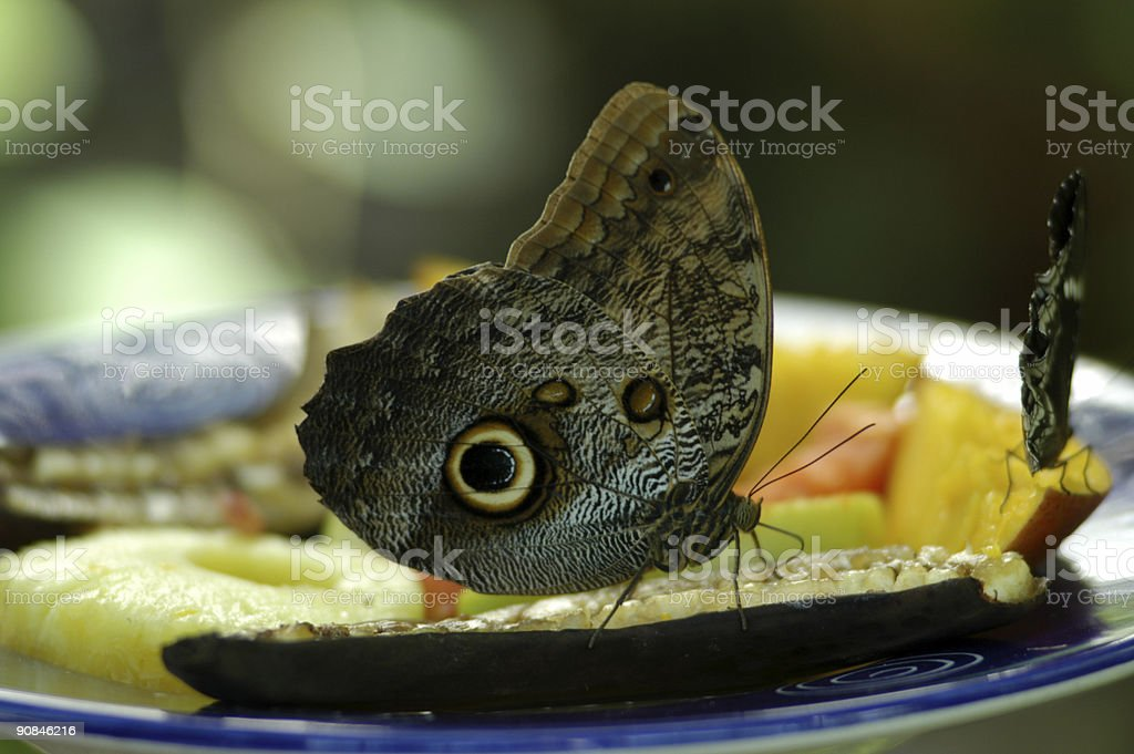 Butterfly eating fruit royalty-free stock photo