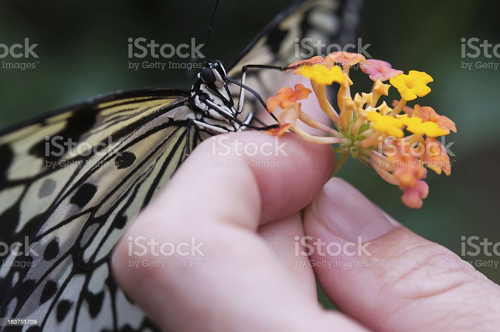 butterfly eating royalty-free stock photo
