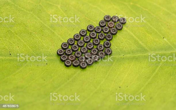 Butterfly eggs on green leaf picture id487833675?b=1&k=6&m=487833675&s=612x612&h=ny0rmbafjyqbw3ezbwct8csbiusbvcjgqqj1vlcjgme=