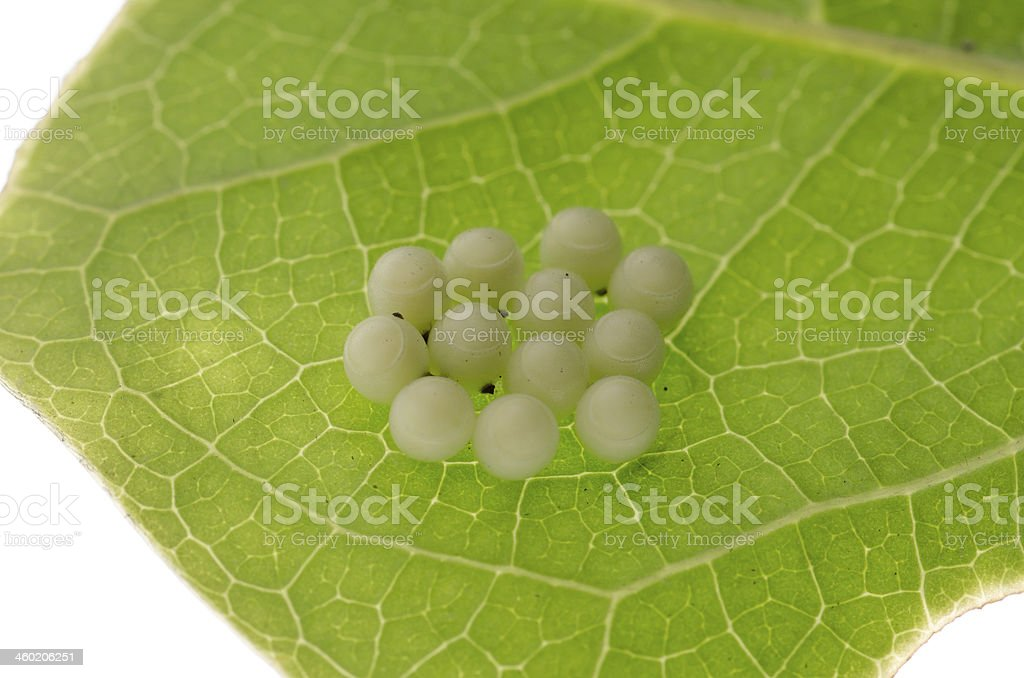 butterfly eggs stock photo