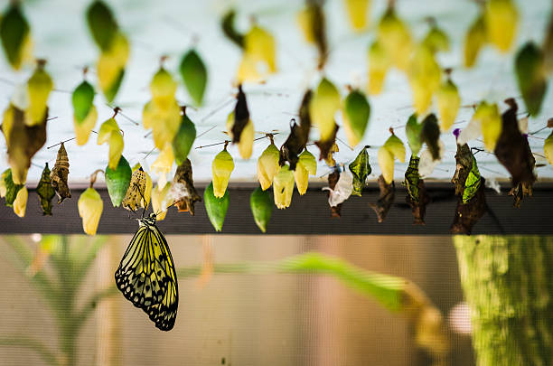 butterfly emerging from its chrysalis foto