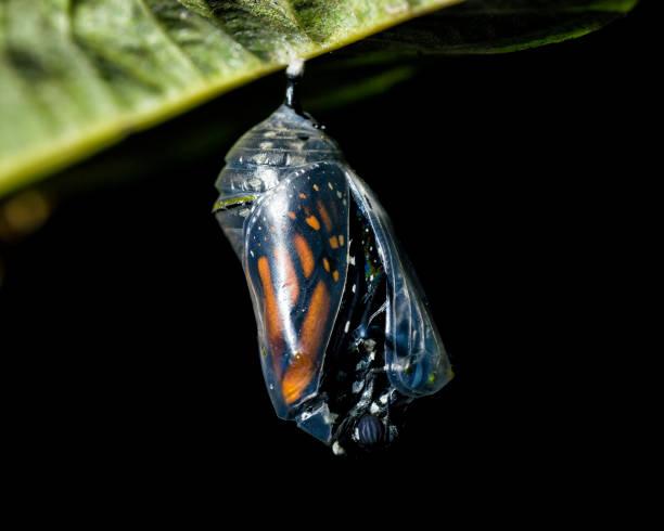 Butterfly emerging picture id659447172?b=1&k=6&m=659447172&s=612x612&w=0&h=smavpajc 870mnl 7rh ypq6bj7hwif1pcn0hlb0 dy=