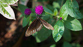 The Common Crow (Euploea core) is a common butterfly found in South Asia. In India it is also sometimes referred to as the Common Indian Crow,