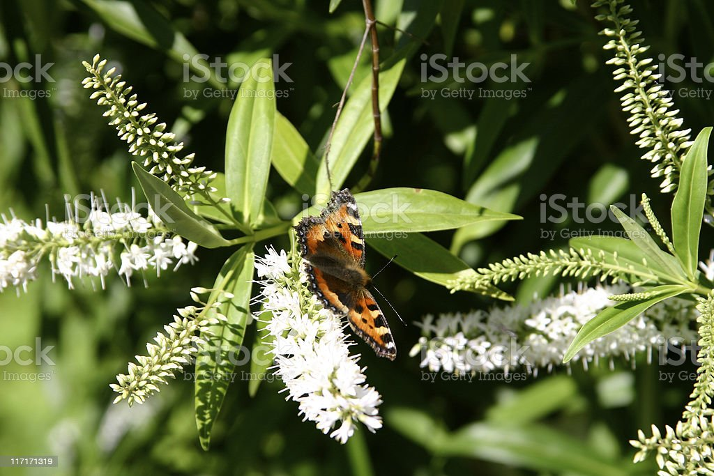 Butterfly extracting nectar from a flower royalty-free stock photo