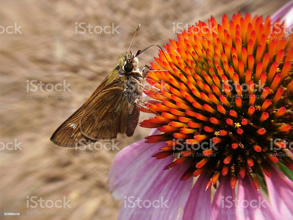 Butterfly Feasting On Flower royalty-free stock photo