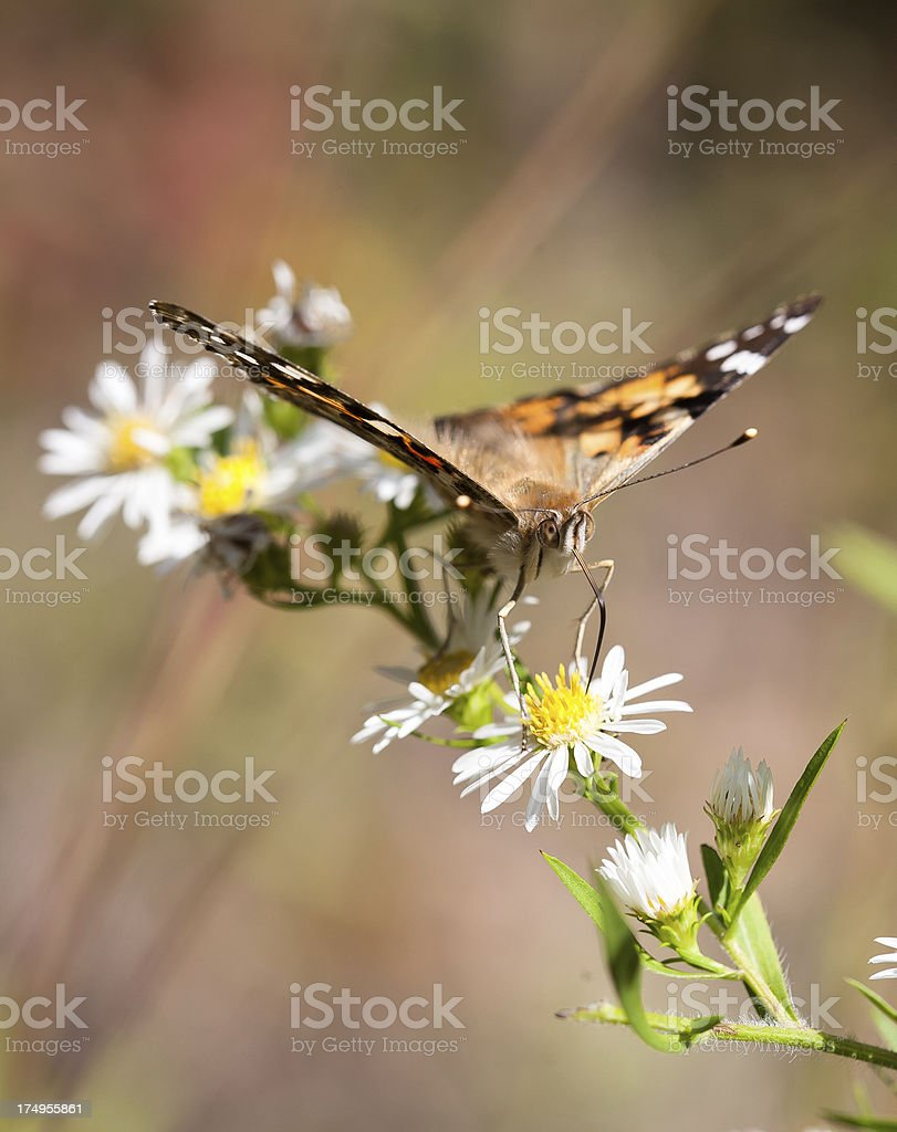 Butterfly Feeding at Wildflower royalty-free stock photo
