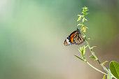 istock Butterfly feeding on herbal flower. 956431110