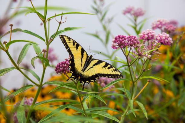 Butterfly feeding on milkweed stock photo