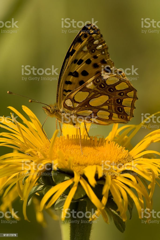 Butterfly Feeding On Yellow Flower royalty-free stock photo