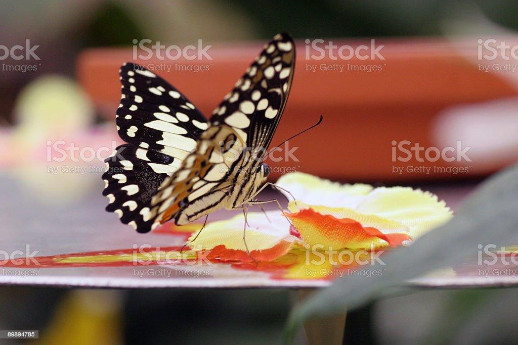 Бабочка грудью Стоковые фото Стоковая фотография