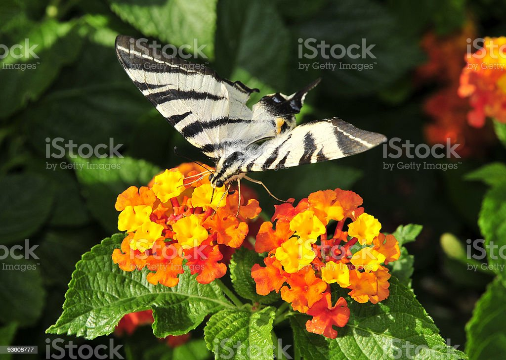 butterfly feeds on nectar royalty-free stock photo
