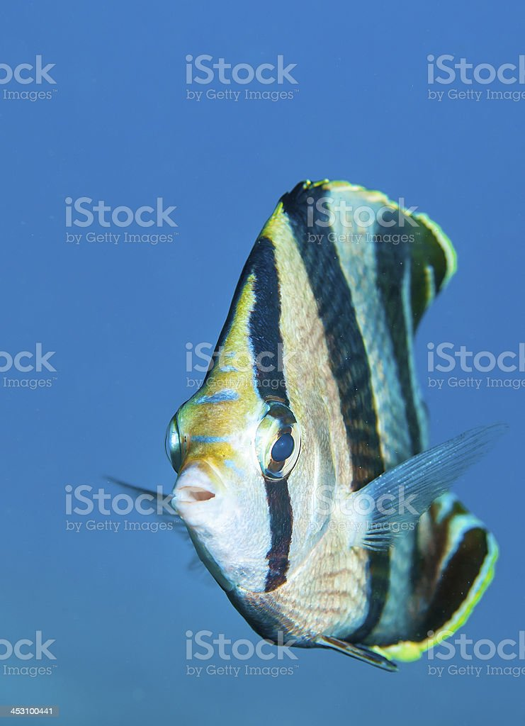 Butterfly fish royalty-free stock photo